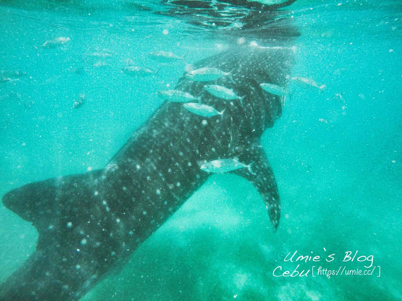 菲律賓宿霧 Day9|一生一定要來一次!歐斯陸Oslob和鯨鯊一起游泳、杜馬蓋地 Dumaguete 市區觀光!